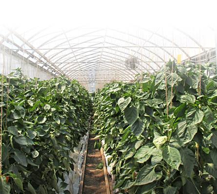 techniques de culture producteur biologique de tomates poivrons concombres fines herbes et. Black Bedroom Furniture Sets. Home Design Ideas